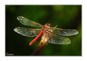 Dragonfly by cedrus