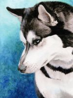 Siberian Husky in Watercolor by cdabroom