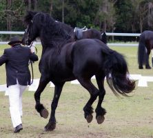 STOCK - Friesian Show 2012-140 by fillyrox