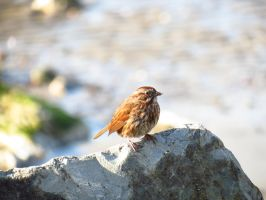 Song Sparrow by aRetrodude