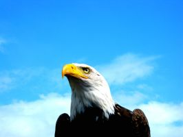 Eagle by Bouwland
