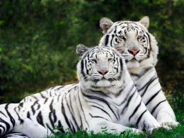 White Tigers by CloudMcSwagger