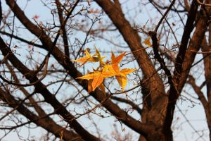 The maple leaves of autumn 3 by Sophie-Y
