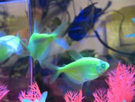 green tetras by Jo-walter14