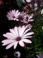 African Daisy by Cokkii