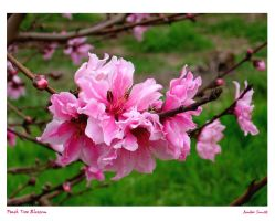 Peach Tree Blossom by AmberSunset
