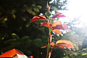 rosewood leaves by ANDMAiYESi1986
