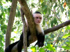 Honduras Spider Monkey by drywall420