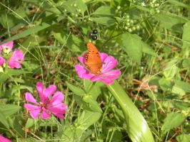 Butterfly and Zinnia 0629 by Aazari-Resources