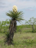Yucca tree in bloom by Like--A--Fox