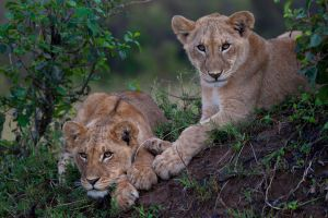 African Lion 81 by catman-suha