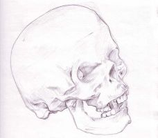 Skull Sketch by andydiehl