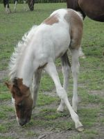 Felix - Chestnut/Gray Tobiano Colt by Horselover60-Stock