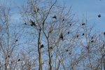 The Starling Gathering by naturenanni