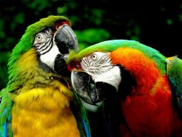 Macaws II by angelicque