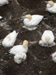 Growing Gannets by modestlobster
