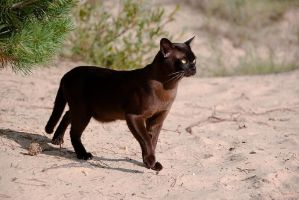 cat in dunes 3 by cougarLV
