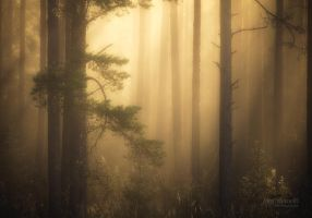 Foggy Pine Forest by Nitrok