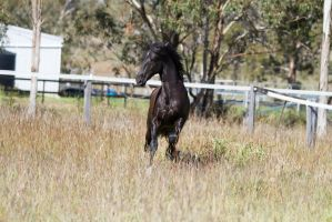 HH Black Andy canter towards ears back by Chunga-Stock