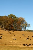 Cows by LadyRStock