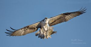 Osprey with meal by AForns