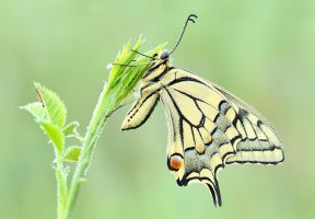 177. Papilio machaon by Bulinko