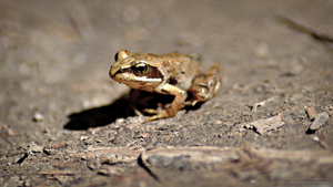 Common frog by Zavorka