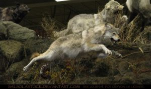 Gray Wolf 12 by SalsolaStock