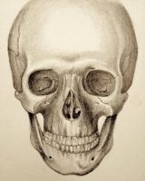 Skull Study by ShadowSeason