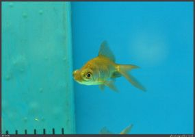 Fish Stock 0041 by phantompanther-stock