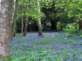 Bluebell grove by piglet365