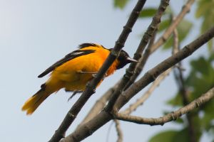 Male Baltimore Oriole June - 2014 - 23 - 4 by toshema