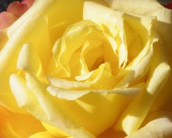 Yellow Rose 3 by Singing-Wolf-12