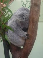 Koala by ChesterChick