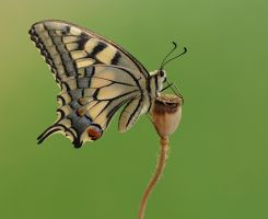 Papilio machaon by dralik