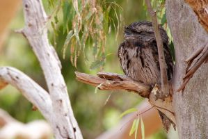 Tawny Frogmouth by Simon-Hunt