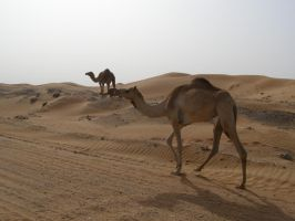 Stock 24 Camels by monarxy-stocks