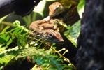 Haitian Giant Anoles by ManitouWolf