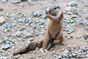 Cape Squirrel III by amrodel