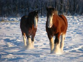 Clydesdale Geldings 2 by okbrightstar-stock