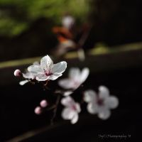.Blossom. by WALKING-GIRL