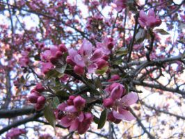 pink crab apple flowers 01 by CotyStock