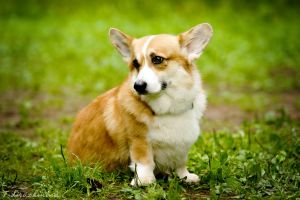 Cute Welsh Corgi by T-Solnechnaya
