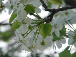 Pear Tree Blossoms by PaintingSaint