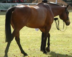bay thoroughbred mare walking by tbg-stock-images