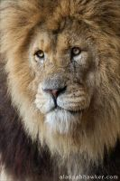 Lion 03 by Alannah-Hawker