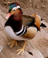 Mandarin Duck by PaganFireSnake