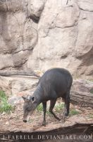 Yellow Backed Duiker by J-Farrell