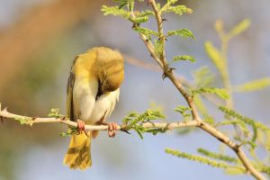 Golden Masked Weaver - Taking a Breather by LivingWild