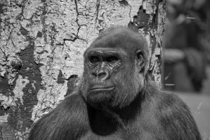 Gorilla (Black and White) by nikkiontherock
